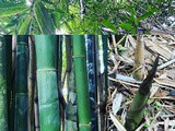 Covid-19 recipe 9: foraging for bamboo