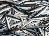 Anchovies – Why you need them in your diet