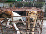 Dogs are not our whole life but they make our life whole… Saangchai and Soi Dogs